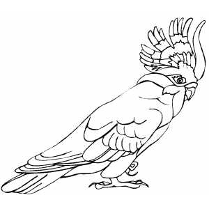 Cockatoo coloring page
