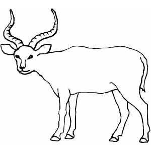 Antelope Looking At You coloring page