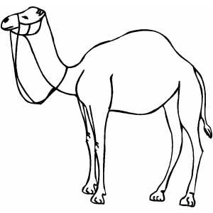 Standing Camel Coloring Page