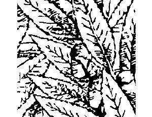 Mango Leaves Coloring Page