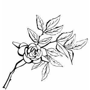 Rose On The Branch coloring page